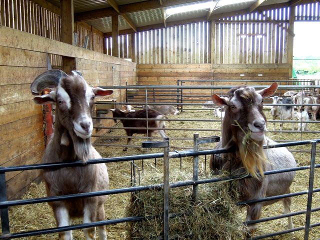 wookey farm goats