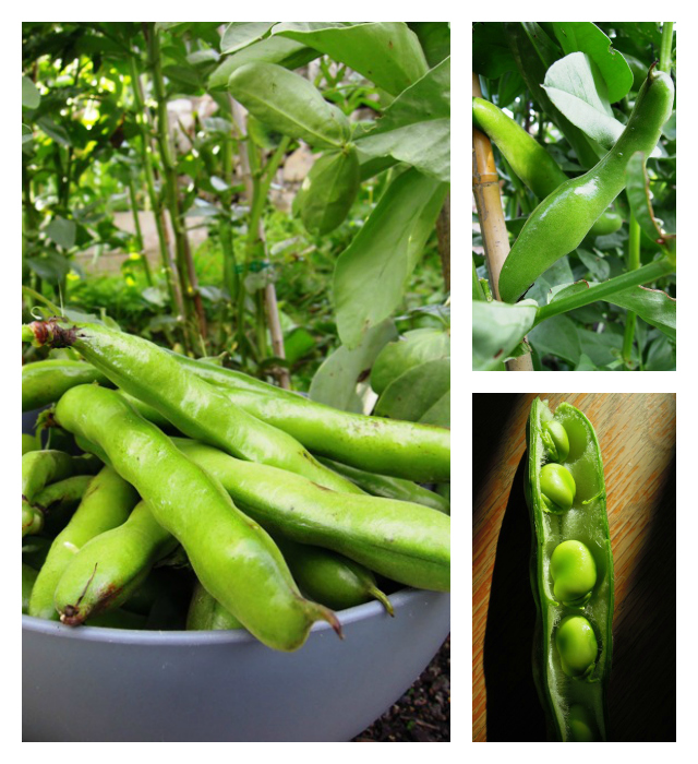 Broad Bean Collage
